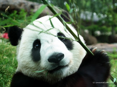boo delivery boy (somesai) Tags: animal animals smithsonian panda endangered giantpanda pandas giantpandas
