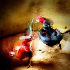 KungFu chicken (AraiGodai) Tags: interesting explore rooster cockfight araigordai thaicock ไก่ชน kaichon raigordai araigodai