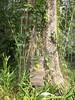 96.11.16竹崎鄉光華村茄苳風景區內的茄苳老樹DSCN3206