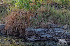Tiger Patrol (fascinationwildlife) Tags: animal mammal wild wildlife nature natur national asia india indien forest summer female cat big tiger tigress patrol camouflage predator ranthambhore park endangered species bengal