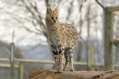 Serval (Gary J Morris) Tags: serval exmoor zoo zoology 11022017 gary morris canon 7d mkii canon7dmkii