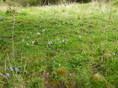 CARPET OF VIOLETS ON NEUTRAL GRASSLAND DSCN0345 (Coventry City Council) Tags: coombecountrypark coombeabbey coventry