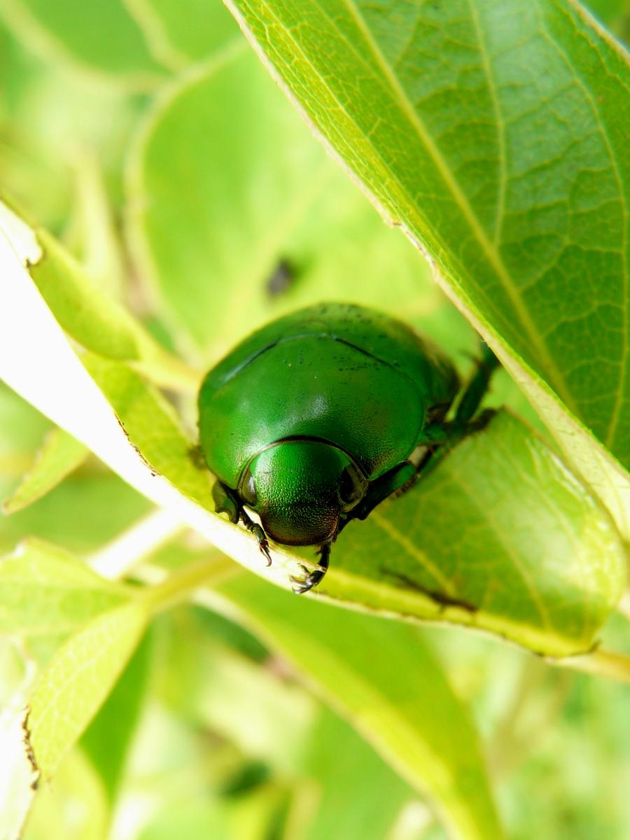 台灣青銅金龜 (Anomala expansa)