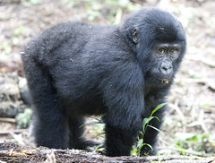 Uganda, Bwindi (richard.mcmanus.) Tags: africa gorilla ape uganda primate naturesbest mcmanus aclass doubledragon bwindi mountaingorilla natureall crazynature worldofanimals naturelovely naturegreenstar worldnatureclose rushegura gpsetest