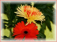 For You (Chrismatos 90% OFF, sorry) Tags: pink flowers friends red plants plant flores flower green nature colors leaves yellow garden cores fun flora plantas friendship natureza gerbera poses