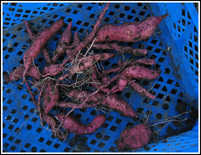 Sweetpotatoes copy