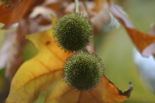 Horse Chestnut Tree - 2 Unripe Conkers