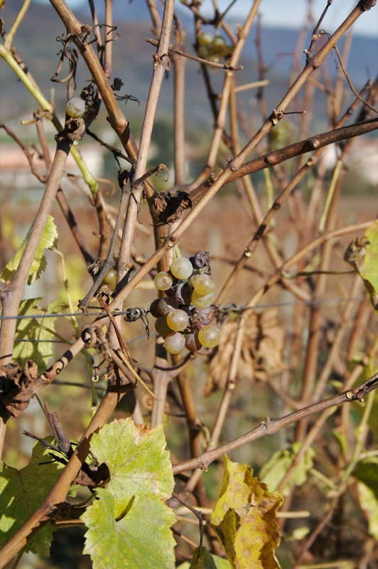 Franciacorta grapes