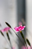 Little Carnation (olvwu | 莫方) Tags: pink usa flower macro canon ga georgia 100mm pinkflower savannah carnation jungpangwu oliverwu oliverjpwu canonef100mmmacrof28usmlens olvwu mywinners jungpang 莫方 吳榮邦