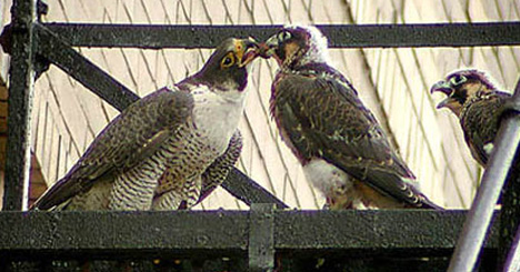 Urban Falcons