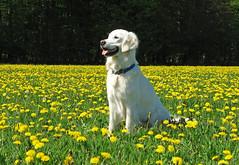 Ditte in a field of dandelions