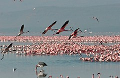 Pink Flamingos !!!   WHERE ?? (Picture Taker 2) Tags: africa pink reflection nature water beautiful birds outdoors wings colorful pretty native wildlife flamingo pinkflamingo wilderness stork wildbirds lakenakuru featheryfriday africaanimals