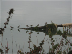 calma piatta (archilalla) Tags: italy reflection bird birds reflections italia uccelli laguna toscana riflessi orbetello uccello maremma riflesso monteargentario lagunadiorbetello maremmagrossetana