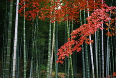 crouching tiger, hidden maple (troutfactory) Tags: autumn red tree fall film colors leaves japan 35mm maple voigtlander bessa rangefinder bamboo arashiyama  analogue    kansai tenryuji    ultron r2a changingoftheleaves