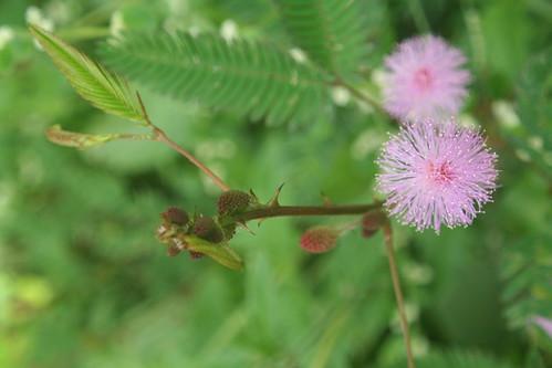Makahiya Pink Flowers
