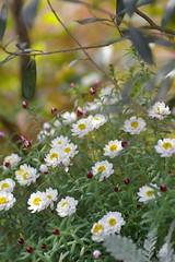 花かんざしを寄せ植えに