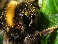 Here's looking at you....... (stormlover2007) Tags: uk cold macro nature insect queen bee bumblebee pollen hymenoptera naturesfinest blueribbonwinner wowiekazowie buzznbugz macromarvels excapturemacro treeofhonor