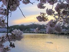 Cherry Blossoms at Sunset (Kurlylox1) Tags: pink flowers trees art washingtondc spring blossoms sakura cherryblossoms yoshino tidalbasin naturesfinest interestingness481 i500 anawesomeshot theunforgettablepictures goldstaraward platinumsuperstar
