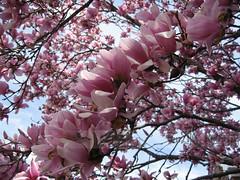 Blooming (Free2bJ.C.Photos) Tags: pink flowers tree nature spring magnolia magnoliatree magnoliaflower pinkalicious canonsd900 onlythebestare allimagesareprotectedundertheunitedstatesandinternationalcopyrightlawsandmaynotbedownloadedreproducedcopiedtransmittedormanipulatedwithoutwrittenpermission ifyoupostphotosinyourcommentsonmyphotospleasemakesuretheyaretheflickrsmallsizethanksifyoupostlargersizeireservetherighttodeleteyourcomment