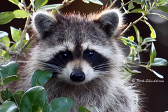 Thank You from Raccoon Babies and Me (Rick Shackletons Photographic Adventures) Tags: florida rick fl raccoon shackleton floridawildlife raccoonbabies floridafauna hendrycountyfl dinnerislandwma rickshackleton