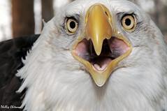 Uncropped (Phillip Chitwood) Tags: bird nikon baldeagle raptor nikkor vins d300 105mmf28gvrmicro animalkingdomelite impressedbeauty