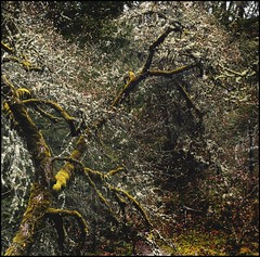 lichen tree (jody9) Tags: tree oregon moss lichen ashland pinkshoe ashlandcreek