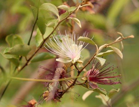 Capparis sps. (Family Capparidaceae)