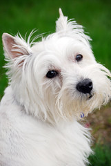 my Kirby (kmrphotography) Tags: dog white kirby westie canine terrier monthlyscavengerhunt westhighlandwhiteterrier mansbestfriend msh top20smalldogshots terrierbreed top20smalldogshots20 msh02101 apictureworthathousandwords msh0210
