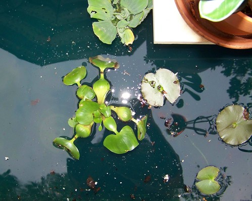 lily and water plants