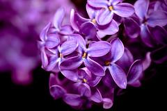 Purple Lilacs (Dr. Ilia) Tags: flowers ontario canada flower macro spring purple may lilac 2008 richmondhill lilacs macroplay wonderfulworldofflowers awesomeblossoms