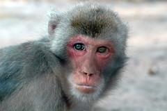 Japanese Macaque (Umschauen) Tags: geotagged affe macaque japanesemacaque tierparkfriedrichsfelde macacafuscata japanmakak rotgesichtsmakak sigma703004056
