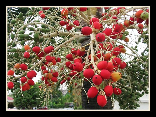 Fruits of Veitchia merrillii, framed with Layer Style effects in Photoshop