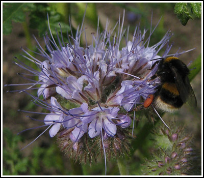 beePhacelia copy