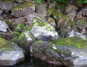 和琴半島の黒ミンク