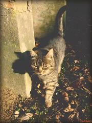 Patrolling... (clevernails) Tags: cat patrol pet animal natur walk shadow leave darkness soft pastel