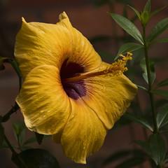 Hibisco (Egg2704) Tags: flor flores planta plantas naturaleza naturalia egg2704