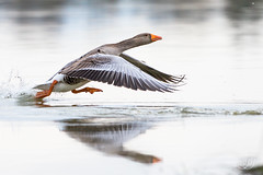 Oie cendrée (Tifaeris) Tags: anatidés anseranser ansériformes greylaggoose oiecendrée bird oiseau