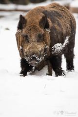 Wild boar (Cloudtail the Snow Leopard) Tags: wildschwein winter schnee snow animal boar mammal pig säugetier schwein scrofa sus tier wild swine wildpark pforzheim