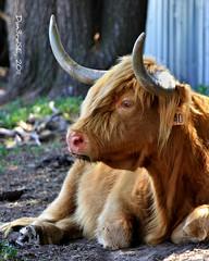 Scottish Highlander - Hedricks's Exotic Animal Farm (Don3rdSE) Tags: summer portrait nature animal canon eos cow natural farm ks horns exotic kansas shaggy bedbreakfast nickerson 50d canon50d scottishhiglander june2011 don3rdse hedricksexoticanimalfarm