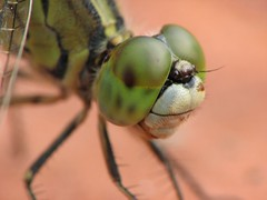 """Dragonfly close up • <a style=""""font-size:0.8em;"""" href=""""http://www.flickr.com/photos/41711332@N00/1683925932/"""" target=""""_blank"""">View on Flickr</a>"""