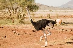 (Nicola Zuliani) Tags: africa fauna kenya natura safari animali animale tsavo tsavoeast struzzo tsavoest nizu nicolazuliani wwwnizuit