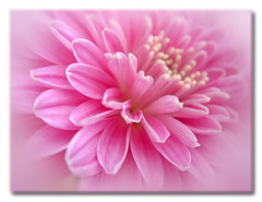 tenderness (Lyubov) Tags: pink flowers flower macro nature beautiful wow ilovenature fantastic great mums mum chrysanthemum excellence flowerotica thebiggestgroup pinkalicious superbmasterpiece overtheexcellence
