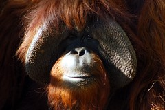 Chantek ...He can talk to you (tammyjq41) Tags: orangutan signlanguage zooatlanta chantek