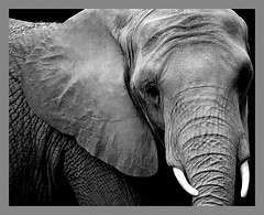 Image: 'Elephant'  http://www.flickr.com/photos/44237541@N00/2101765353