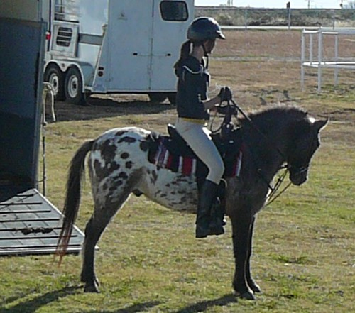 Appaloosa pony with traditional spotted blanket