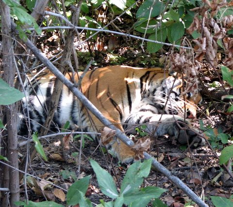 tigress lying in the undergrowth 231207