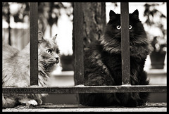 Gattabuia (Olivier Jules) Tags: blackandwhite pet cats white black eye sepia cat blog gate pussy myspace graphs ring explore occhi prison 101 favourites katze deviantart gatto galera gatti animali asd cancello facebook prigione sbarre favoriti ringhiera 10faves aplusphoto anxanum olivierjules pussygraphs