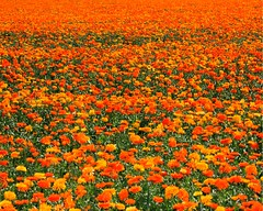 Abundance (Somerslea) Tags: flowers newzealand orange field yellow canon eos canterbury nz zinnia marigolds midcanterbury methven yellowandorange canterburynz views75pool reveley somerslea 40d under95 eos40d canoneos40d diproad mareeareveley