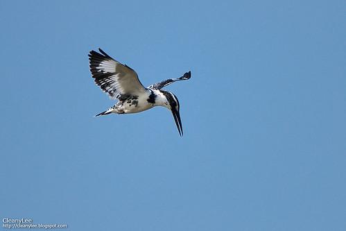 斑翡翠 (Pied Kingfisher) Ceryle rudis