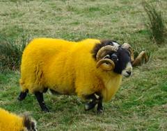 Can anyone explain fluorescent yellow sheep to me? (Anita363) Tags: uk greatbritain orange topf25 animal yellow scotland sheep unitedkingdom horns 100v10f domestic ram topv11111 livestock dyed dayglo blackface blackfaced southlanarkshire